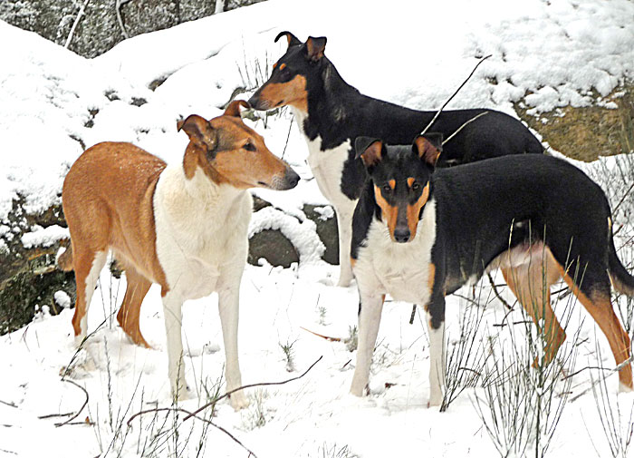 Clos des Castagniers smooth collies colleys poil court.